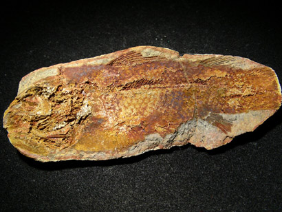fossile célacanthe piveteania