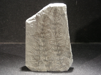 FOUGERE FOSSILE ASTEROPHILITES